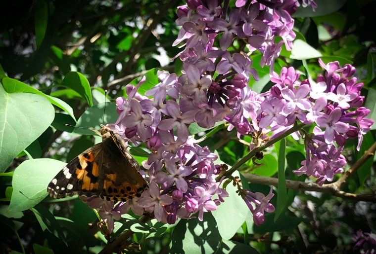 butterfly lilac